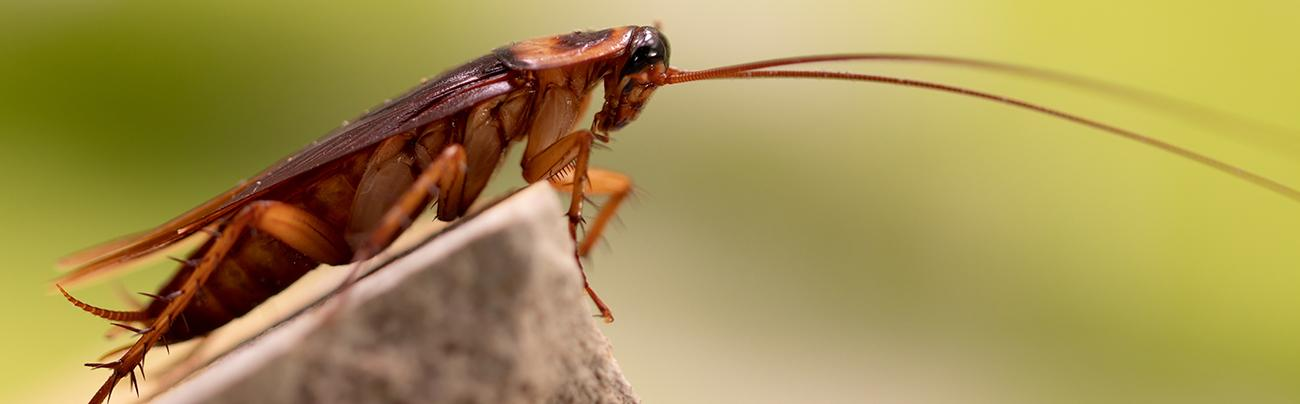 cockroach infestation Pest Control in London and Essex