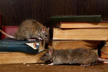 Rodent Pest Control in London and Essex
