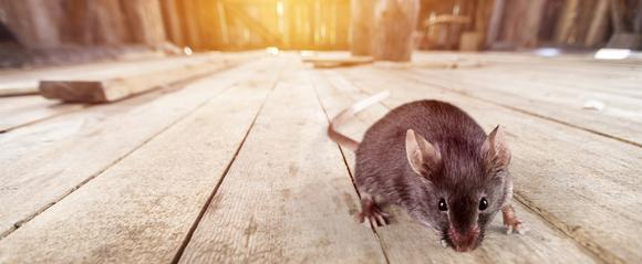 Rat Pest Control in London and Essex