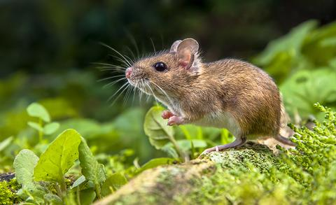 Rodents, Rats and mice Pest Control in London and Essex