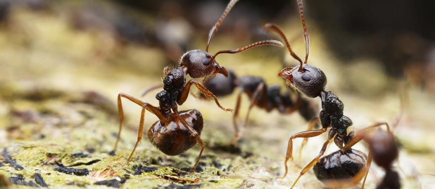 Ant Pest Control in London and Essex