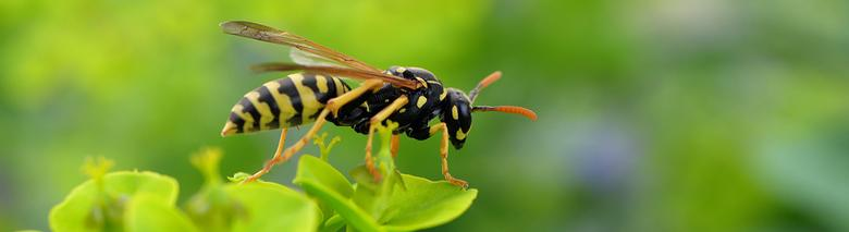 wasps Pest Control in London and Essex